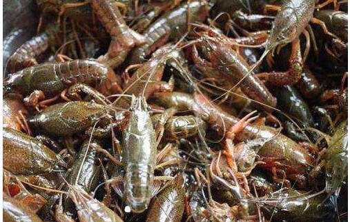 养殖小龙虾赚钱要点