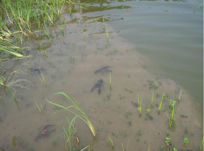 小龙虾病虫害的预防