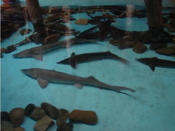 鲟鱼常见疾病