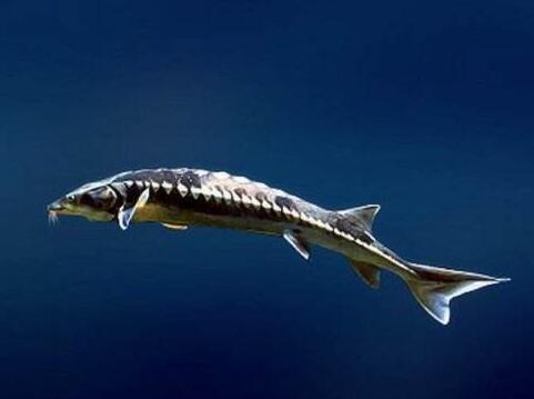 淡水鲟鱼养殖技术攻略