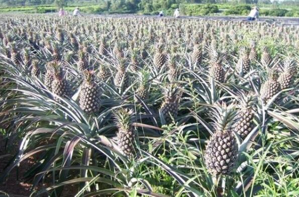 菠萝重视对环境有什么要求
