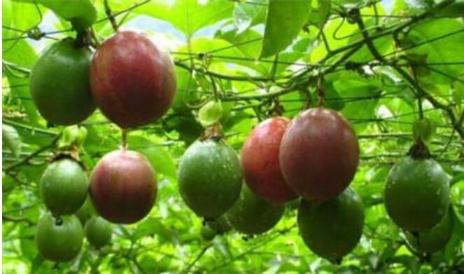 百香果种植选地注意什么