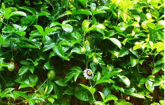 百香果常见的病虫害