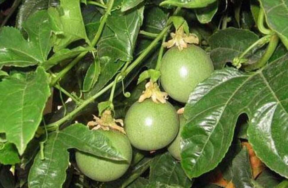 百香果种植引种要注意什么