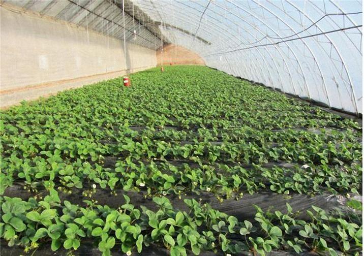 草莓育苗技术