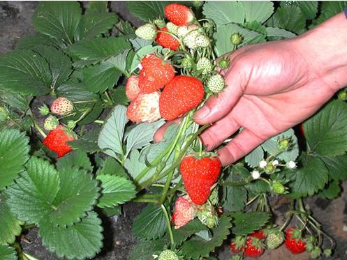 大棚草莓种植技术