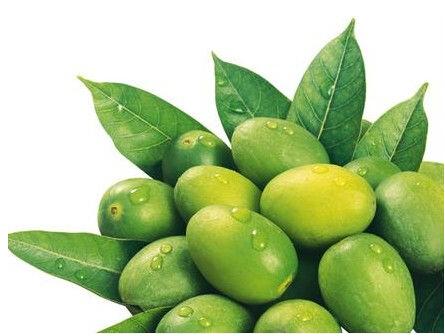 油橄榄如何嫁接