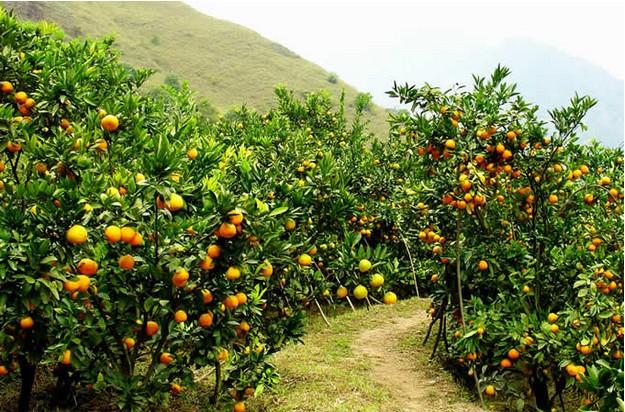 橘子皮的作用
