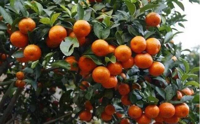 柑橘5个生育期讲解