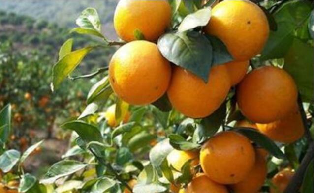 柑橘为什么会衰退