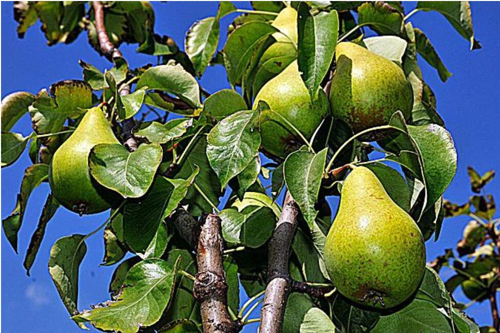 梨子树修剪必备技能