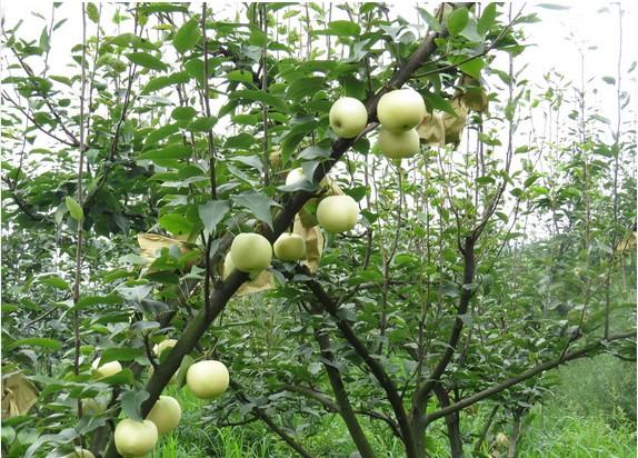 黄梨如何施肥