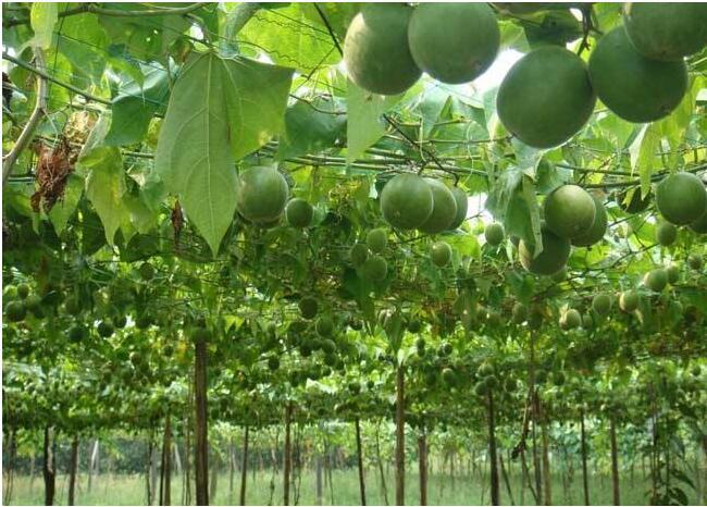 梨树叶片黄化怎么样处理