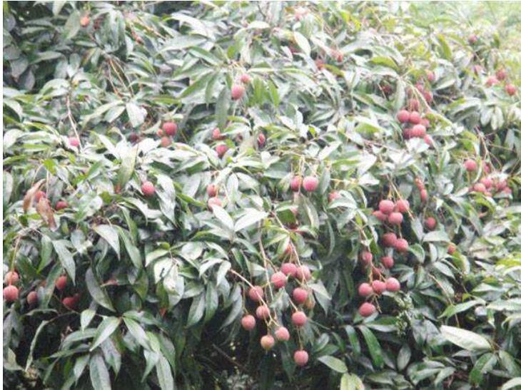 荔枝保果方法