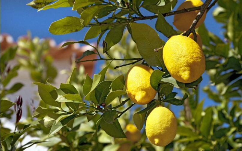 柠檬树日常怎么样栽培