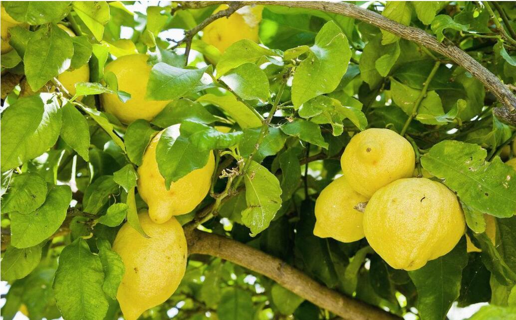 柠檬黄叶怎么办