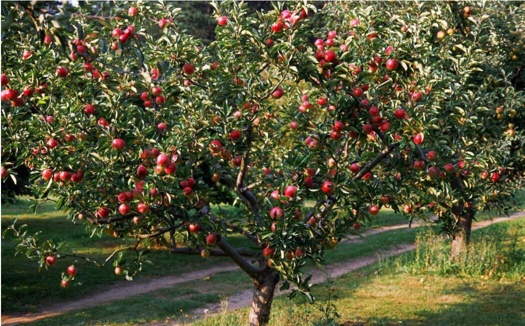 苹果树密植栽培