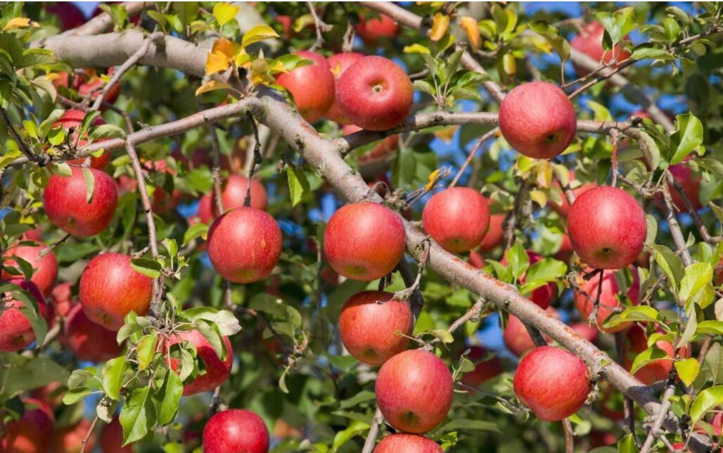 入冬苹果树为什么不落叶