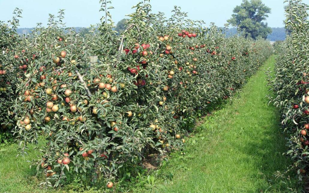 苹果树刮皮怎么样做