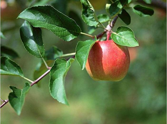 苹果拉枝要注意什么