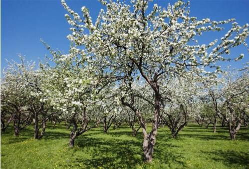 苹果树势调控技术