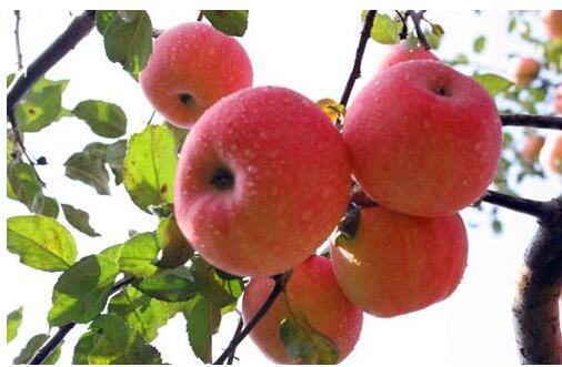 苹果串皮虫的防治技术