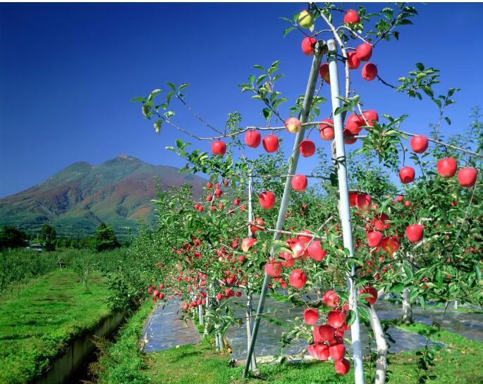 苹果储存保鲜的方法