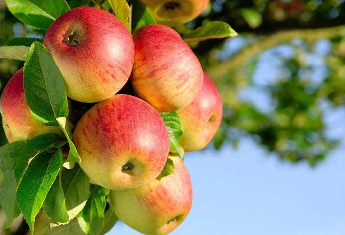 苹果早期落叶病怎么样防治