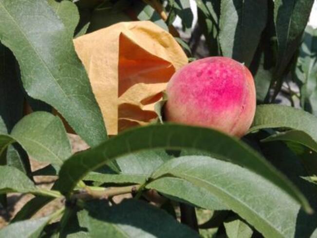早熟水蜜桃怎么样高产
