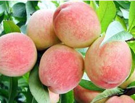水蜜桃怎么样保存