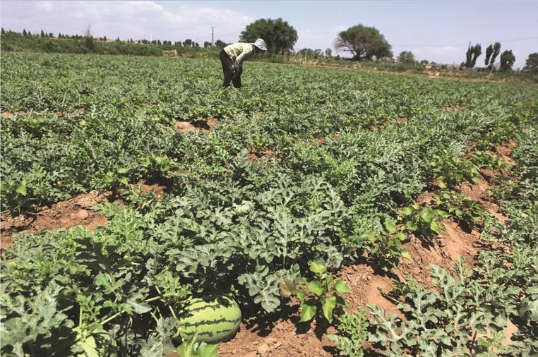 温室西瓜栽培技术