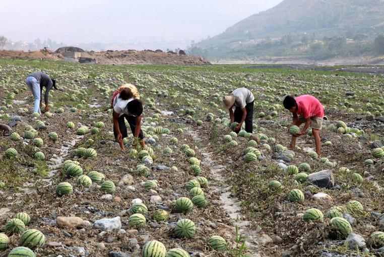 沙地西瓜种植技术