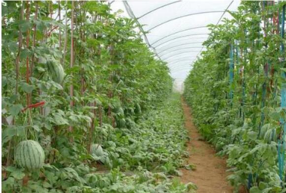 方形西瓜种植技术