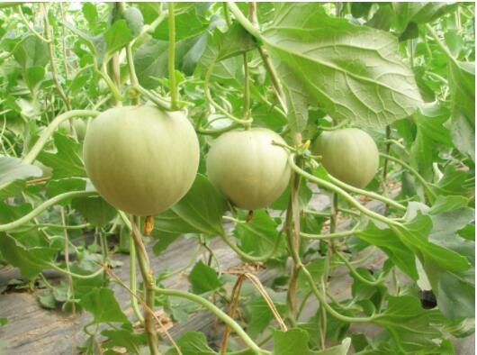 洋香瓜的种植方式
