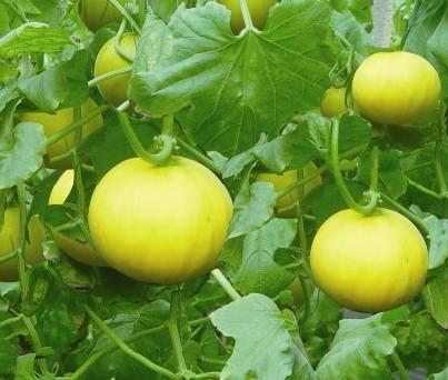 大棚香瓜种植注意什么