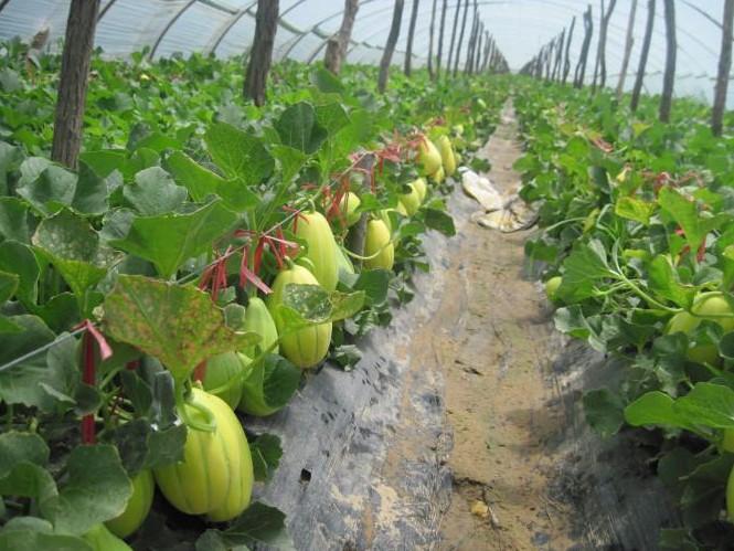 盆栽香瓜的技术
