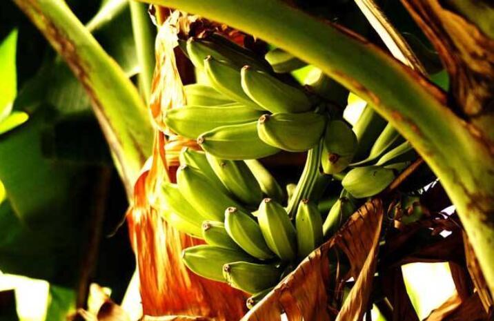 香蕉施肥的技巧