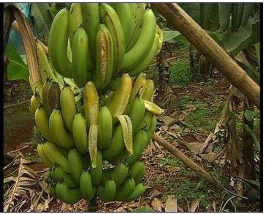 香蕉黑星病怎么样预防