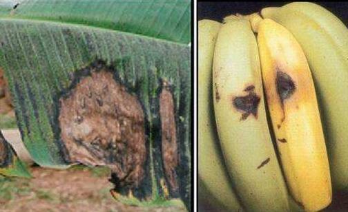 香蕉软腐病怎么样预防