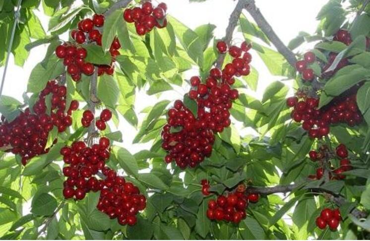 大樱桃的肥料种类