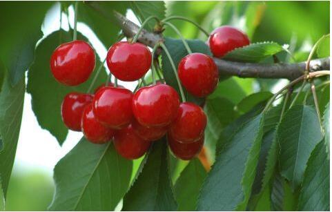 樱桃流胶病的治疗方法