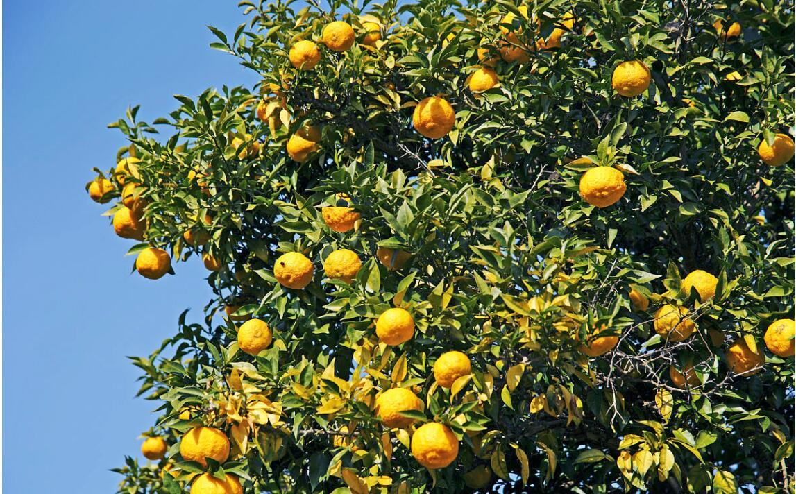 柚子树修剪技术