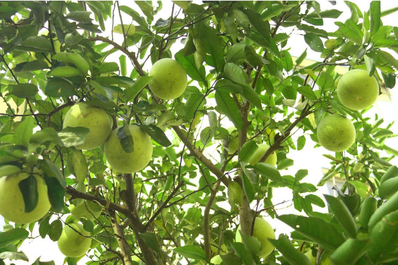 柚子树脂病防治方法