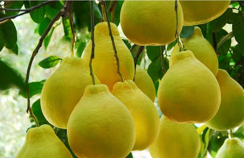柚子地窖贮藏