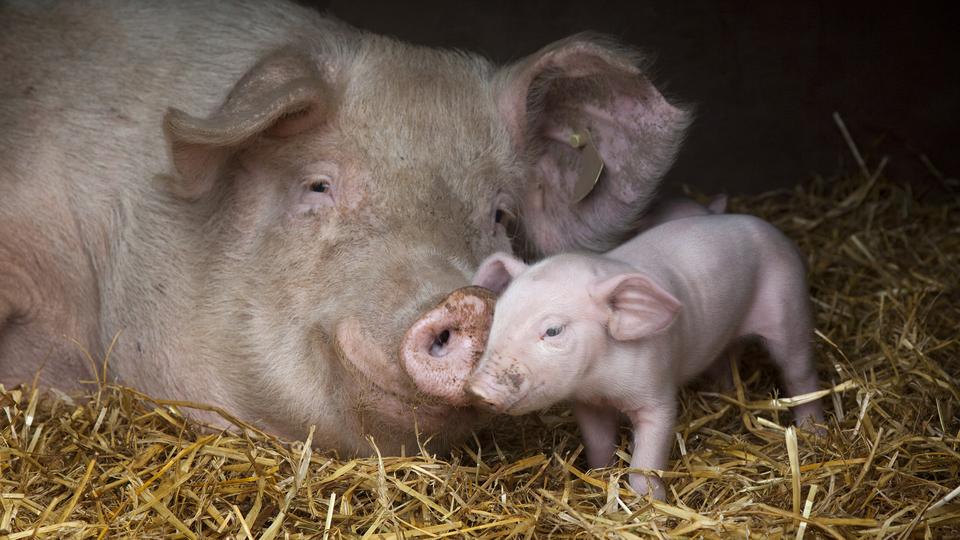 冬季猪常见呼吸道传染病的主要致
