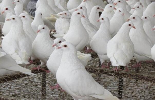 鸽场消毒要做什么