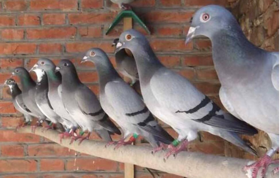 养鸽子容易忽视的问题