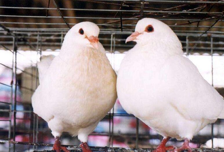 怎么样提高肉鸽存活率