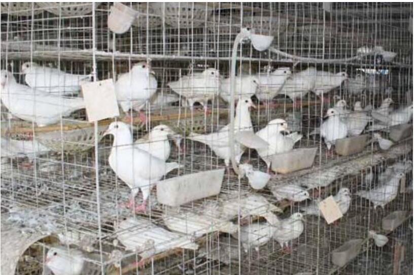 鸽病常见诊断方法