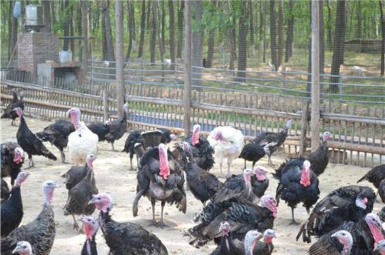 怎么样养殖火鸡赚钱